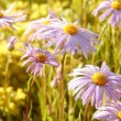 Aster at dawn — Stock Photo