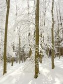 Sunny beech forest in winter — Stock Photo