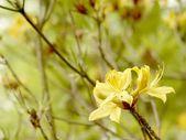 Azalea in the garden — Stock Photo