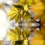 Maple leaves at dusk — Stock Photo