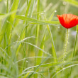 Spring poppy — Stock Photo