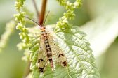 Scorpionfly on leaf — Stock Photo