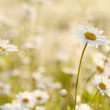 Daisies in the early morning — Stock Photo