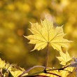 Spring maple leaves at sunset — Stock Photo #2808606