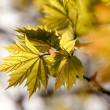 Spring maple leaves at sunset — Stock Photo