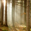 Stock Photo: Coniferous forest at sunrise