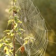 Cobweb at dawn — Stock Photo