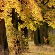 herfst maple bomen in de schemering — Stockfoto