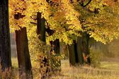 Autumn maple trees at dusk — Stock Photo