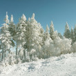 Frost covered pine trees — Stockfoto