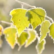 Stock Photo: Autumn birch leaves