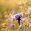 Cornflower at dusk — Stock Photo