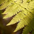 Spring fern — Stock Photo #2840782
