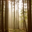 Coniferous forest at dawn — Stock Photo #2846334