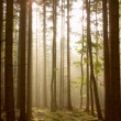 Stock Photo: Coniferous forest at dawn