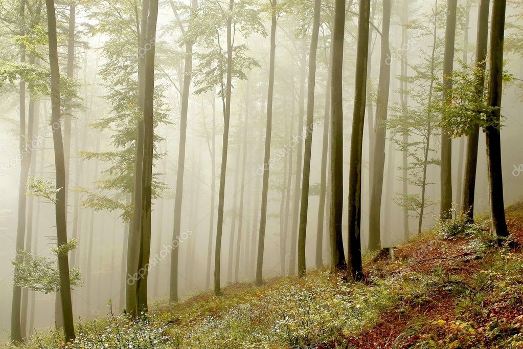 Misty beech forest on the mountain slope in a nature reserve. Photo taken in October.  Stock Photo #2846170