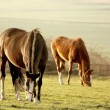 Grazing horses — Stock Photo #2879913