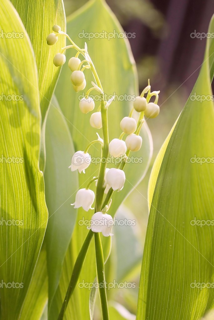 Lily of the valley growing in the forest backlit by the morning sunlight. — Stock Photo #2883437