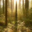 Coniferous forest at dawn — Stock Photo #2910783