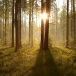 Sunrise through the trees in the forest — Stock Photo #3086182