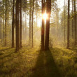 Stock Photo: Sunrise through the trees in the forest