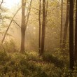 Spring woods at dawn — Stock Photo
