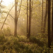 Stock Photo: Spring woods at dawn