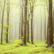 Beech forest in the fog — Stock Photo