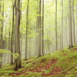 Stock Photo: Spring beech forest
