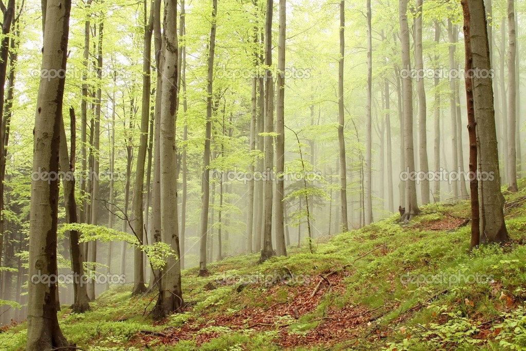 Spring beech forest on the slope with outgoing morning mist in the distance. — Stock Photo #3177927