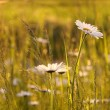 Daisies at dawn — Stock Photo