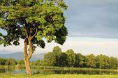 Spring maple tree — Stock Photo