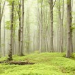 Misty spring forest - Lizenzfreies Foto