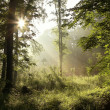 Morning sunlight falls into misty forest — Stock Photo