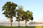 Maple trees at dawn — Stock Photo