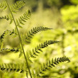 Fern in the forest — Stock Photo #3376302
