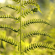 Fern in the forest — Stock Photo #3399515