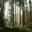 Coniferous forest — Stock Photo #3407982