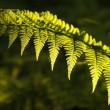 Fern in the forest - Stock Photo