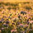 Flowering herbs at dusk — Stock Photo