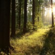 Stock Photo: Summer forest at dawn