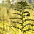 Fern in the forest — Stock Photo #3452497
