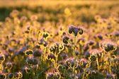 Flowering herbs at dusk — Stock Photo