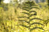 папоротник в лесу — Стоковое фото