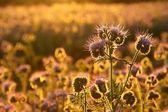 Flores hierbas al atardecer — Foto de Stock