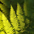 Fern in the forest — Stok fotoğraf