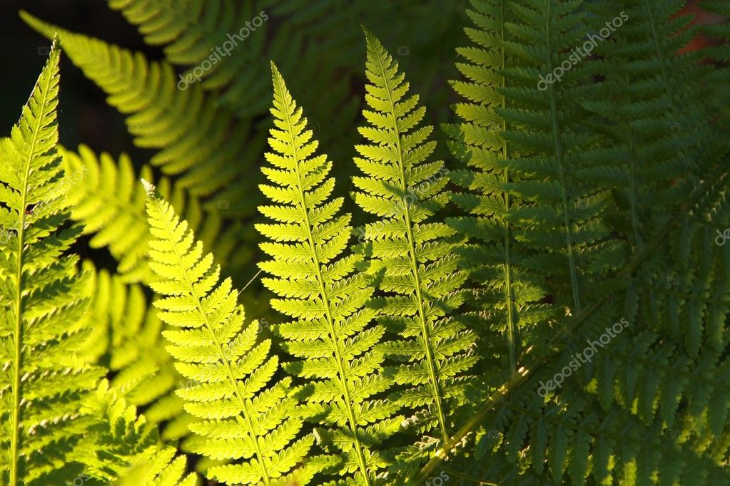 Spring fern in the forest backlit by the morning sunlight. — Stock Photo #3473261