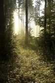 Morning sunlight in a misty woods — Stock Photo