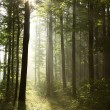 Lush forest in a foggy morning — Stock Photo