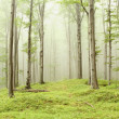 Misty beech forest — Stock Photo